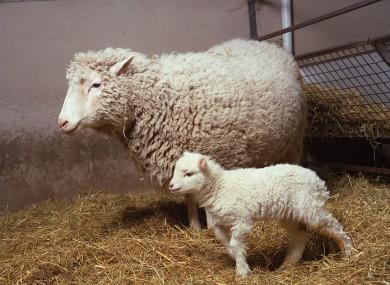 dolly-the-sheep-bonnie-390x285